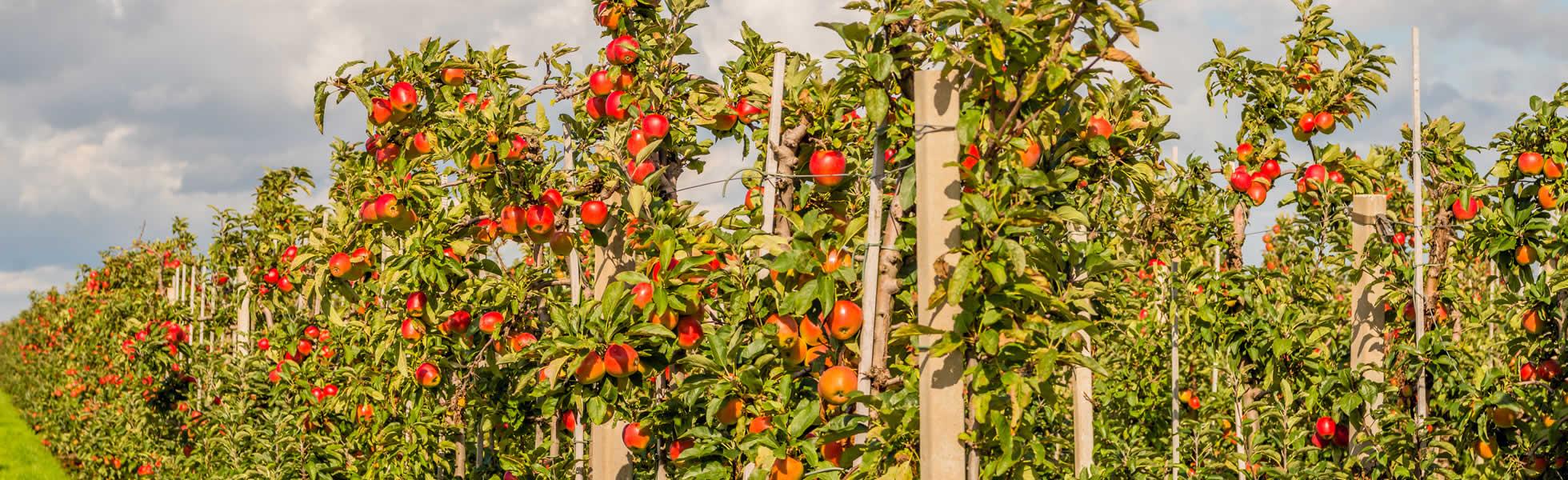 Apfelanlage vor Ernte